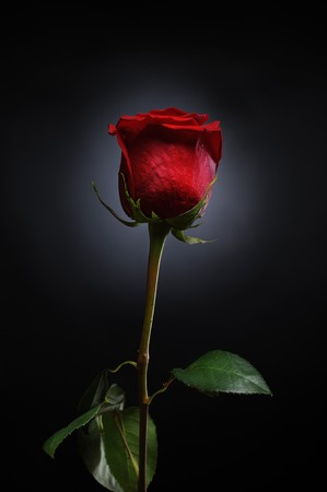 beautiful red rose with dew drops on a black background photo