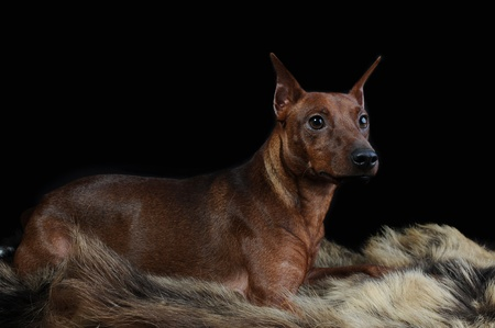 animalscut: image of a Miniature Pinscher on the fur of a bear