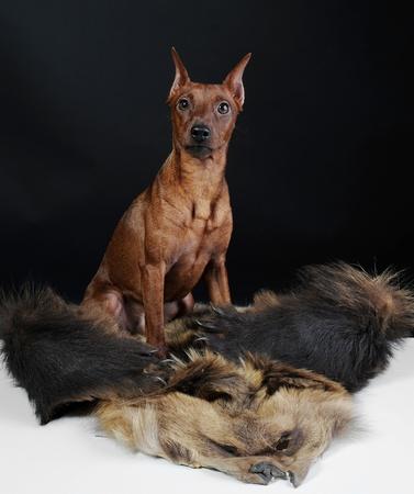 image of a Miniature Pinscher on the fur of a bear photo