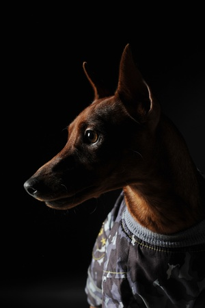 image of a Miniature Pinscher on black background Stock Photo - 8355437
