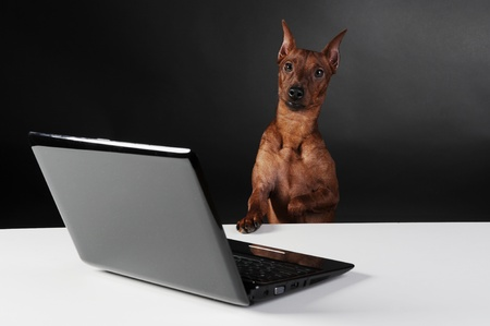 dwarfish: image of a Miniature Pinscher on black background
