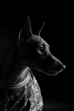 image of a Miniature Pinscher on black background