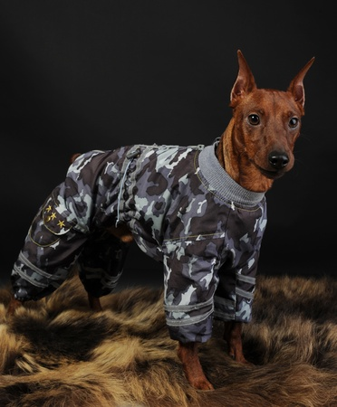 image of a Miniature Pinscher on the fur of a bear photo