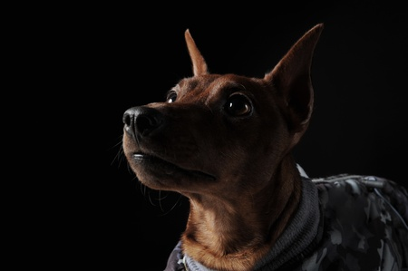 image of a Miniature Pinscher on black background photo