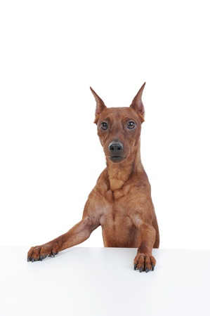 image of a Miniature Pinscher at the table. Isolated on white background