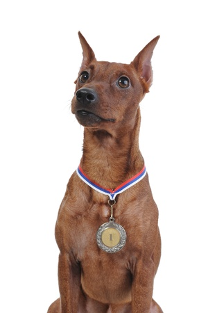 image of a Miniature Pinscher. Isolated on white background Stock Photo - 8355518