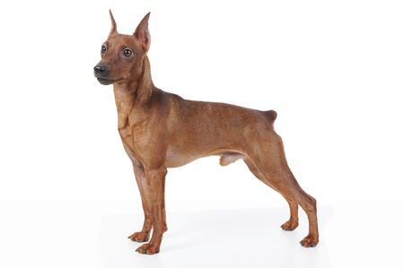image of a Miniature Pinscher. Isolated on white background photo