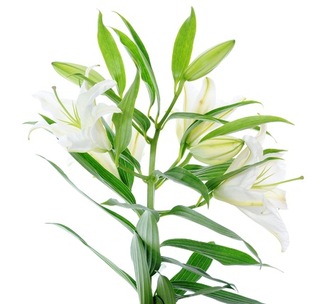 Beautiful white lily flowers Stock Photo - 8891386