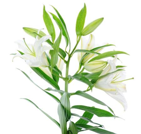 lily flowers: Flores hermosas lirio blanco