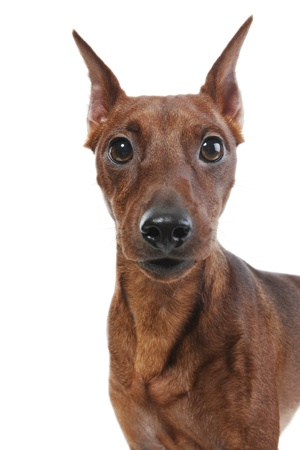 Miniature Pinscher. Stock Photo