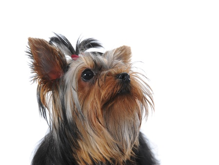 Yorkshire Terrier Stock Photo - 9293152
