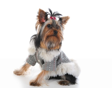 Yorkshire Terrier Stock Photo - 9292826