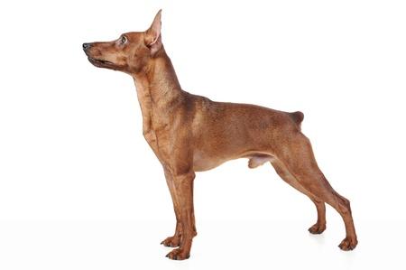 miniature breed: Pinscher miniatura. Foto de archivo