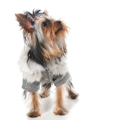Yorkshire Terrier Stock Photo - 9368909