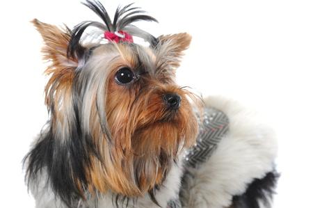outpurebred: Yorkshire Terrier