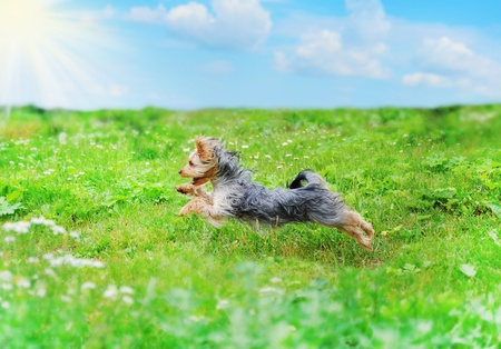 toy terrier: dog playing in the park