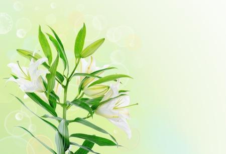 Beautiful white lily flowers photo