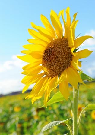 flower close up: Sunflower