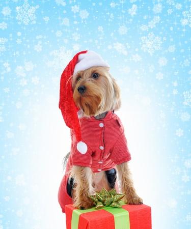 Christmas yorkie photo