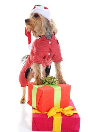 Christmas yorkie Stock Photo - 11342607