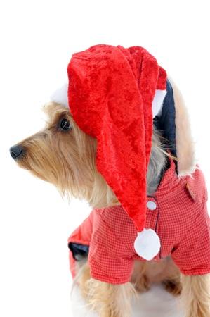 Christmas yorkie Stock Photo - 11342966