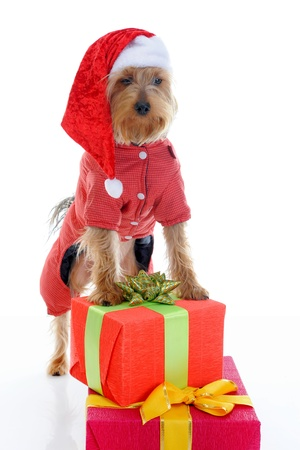 Christmas yorkie Stock Photo - 11342906