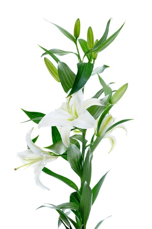 lilly: Beautiful white lily flowers Stock Photo