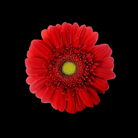 closeup of pink daisy with: Red Gerbera Flower