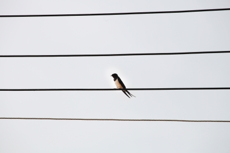 Bird on the electric wires  photo