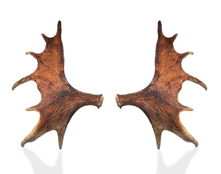 moose antlers: Horns of a large elk