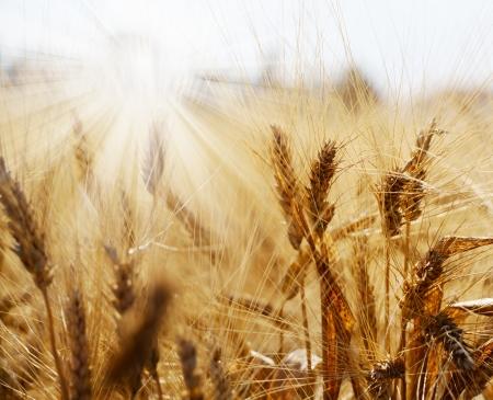 cebada: Rye campo