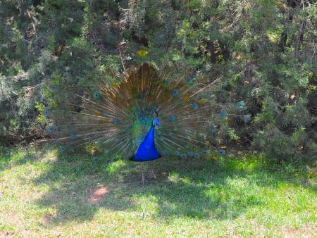 animal ritual: Beautiful peacock Stock Photo