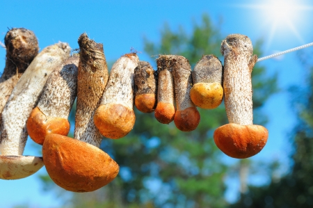 boletus: mushrooms hanging on the rope