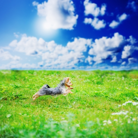 yorkshire: Cheerful little dog
