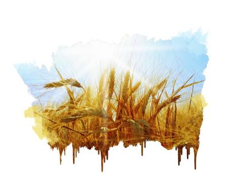 Rogge veld op een mooie zonnige hemel achtergrond