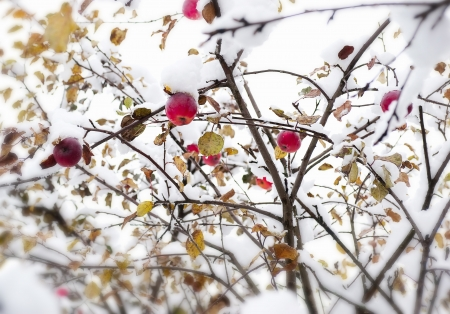 Red apple on a branch in the snow photo