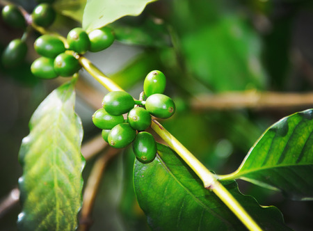 bush bean: Picture green branch with fruits coffee plantation