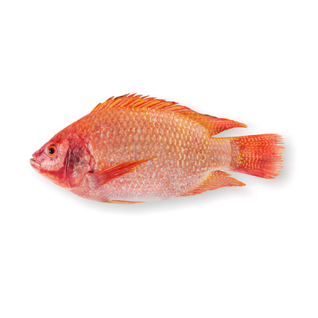 Raw Red tilapia isolated on white background Stock Photo - 29163414