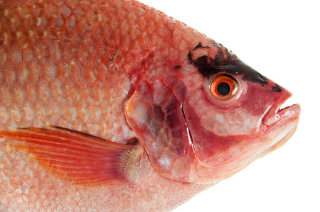 Raw Red tilapia isolated on white background photo