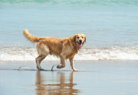 yellow lab: Happy Labrador Retriever playing at the beach