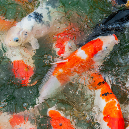 Colorful Koi or carp chinese fish in water photo