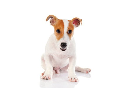 Jack russell terrier. Isolated on white background photo