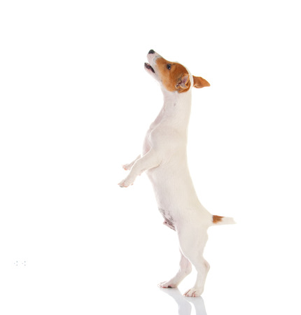 jack russell terrier: Jack russell terrier. Isolated on white background