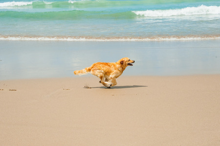 golden retriever puppy: Happy Labrador Retriever playing at the beach