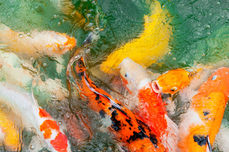 koi pond: Colorful Koi or carp chinese fish in water
