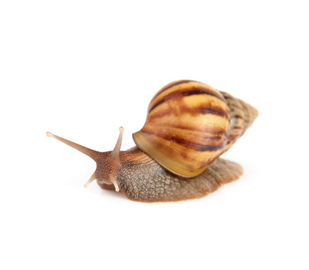 Image Garden snail isolated on white background. photo