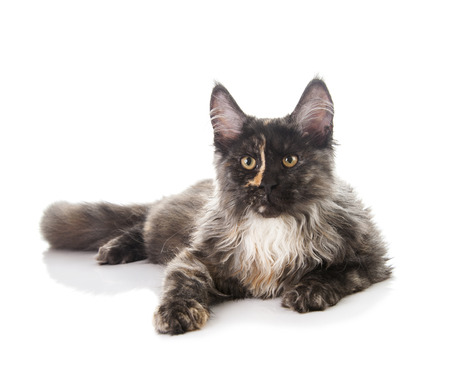 maine coon: Maine Coon cat isolated on white background
