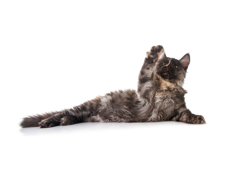 coon: Maine Coon cat isolated on white background