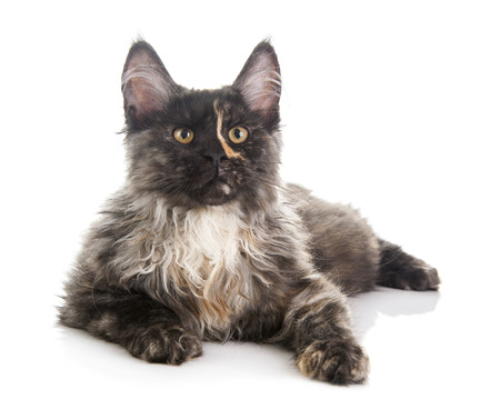 maine coon: Maine Coon cat isol� sur fond blanc