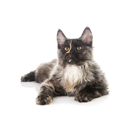 maine cat: Maine Coon cat isolated on white background
